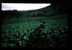 キャベツ栽培地帯