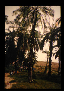 Old Oil Palm Trees Just Before Replanting = 更新直前の老オイルパーム樹