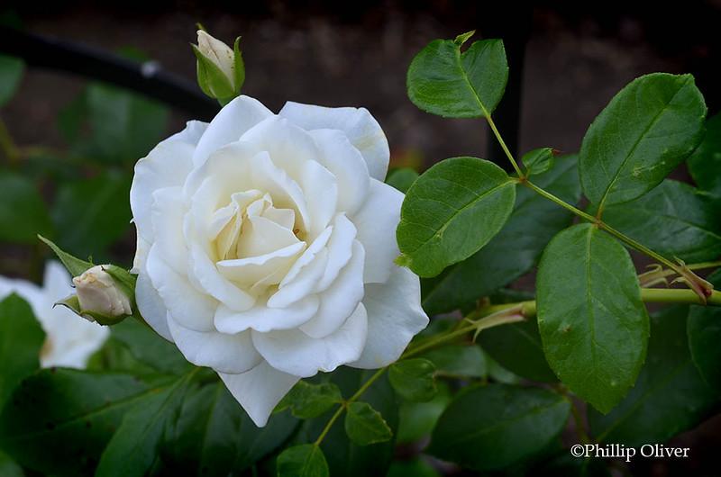 rose-climbing-iceberg