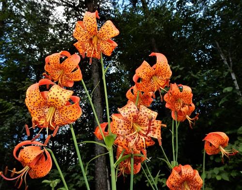 Michigan Lily (Lilium michiganense)