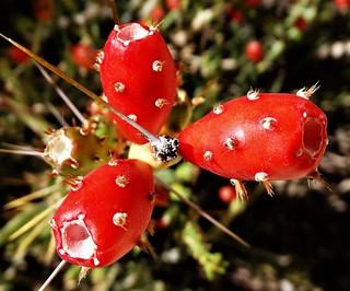 20170816 Desert Christmas Cactus Fruit