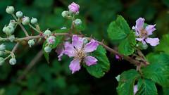 Blackberry Rubus sp.