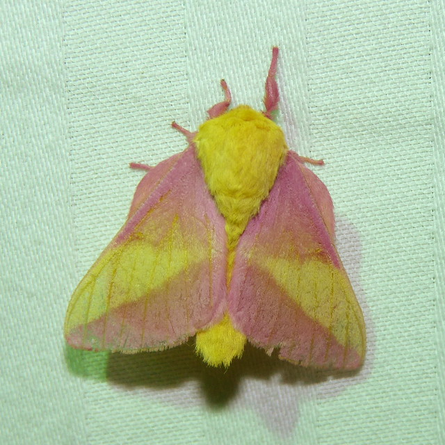 Rosy Maple Moth, Panasonic DMC-FZ35