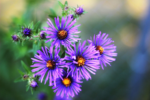 New England Aster | by U.S. Fish and Wildlife Service - Midwest Region