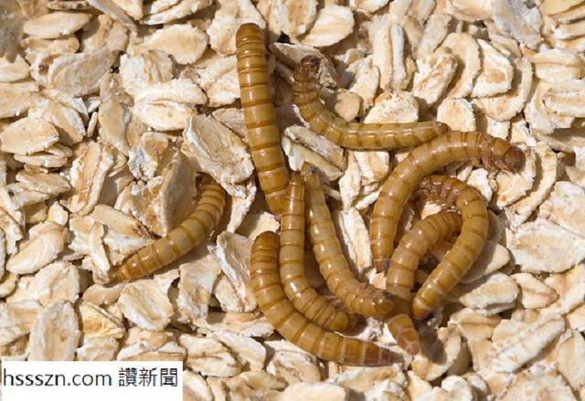 yellow-mealworm-132933