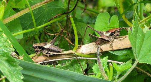 Male Dark Bush-crickets
