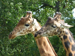 Cerza Zoo - rothschild's giraffe (3)