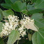 Aleurites moluccana leaves and flowers