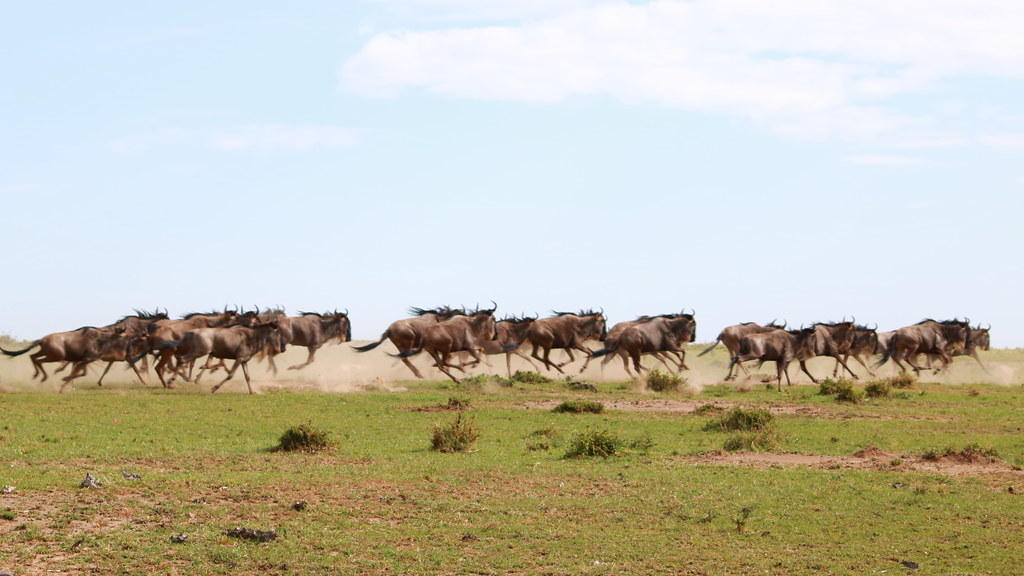 Wildebeest traffic