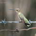 Black-chinned Hummingbird 20170617_9188 by GORGEous nature