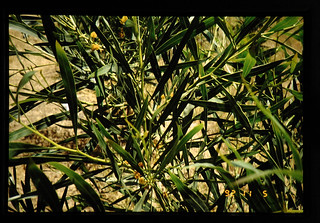 Flower On Eucalybtus Tree = ユーカリの花
