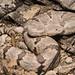 Mottled Rock Rattlesnake (Crotalus lepidus) by Saundersdrukk