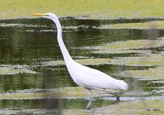 HolderGreat White Egret.