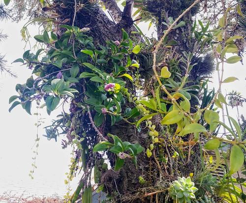 Anthurium scandens Growing Epiphytically