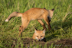 Northern Plains Red Fox - Kits