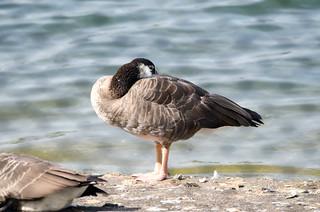 Canada goose x greylag goose hybrid