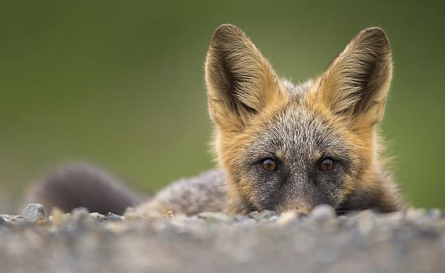 Peek-a-Boo Fox, Canon EOS-1D X, Canon EF 800mm f/5.6L IS