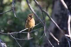 Tufted Flycatcher | Reef Townsite CG | Carr Canyon | Sierra Vista | AZ|2017-08-31|09-37-29.jpg