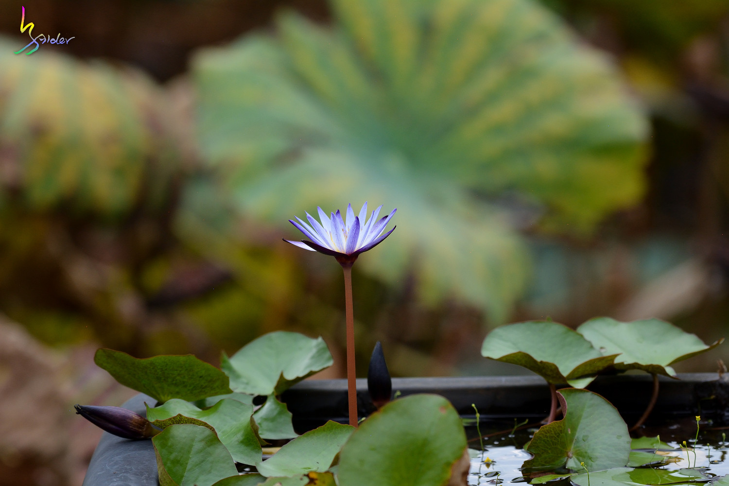 Water_Lily_5360