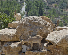 Nubian Ibex in Jerusalem-Biblical-Zoo-IZE-363