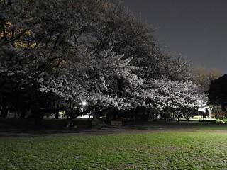 千葉公園お花見広場 夜桜07