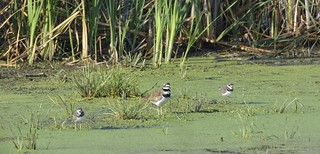 Killdeer and babies_DSC8737 | by David Villeneuve