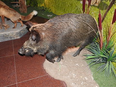 Wild boar- the kind of fauna found in the general area