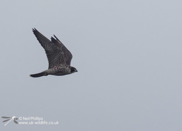 Peregrine falcon-7
