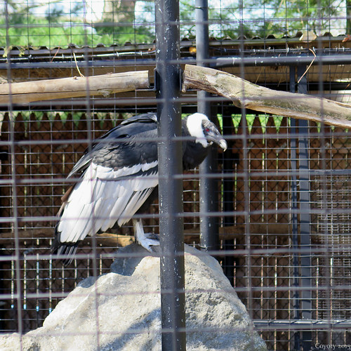 Andean condor perched on a rock.