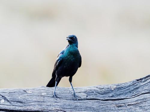 chobe nature bird réservenature oiseaux juillet botswana hiver burchalsstarlinglambrotornisaustralis northwestdistrict bw