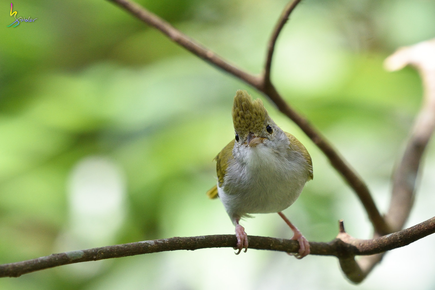 White-bellied_Yuhina_1897