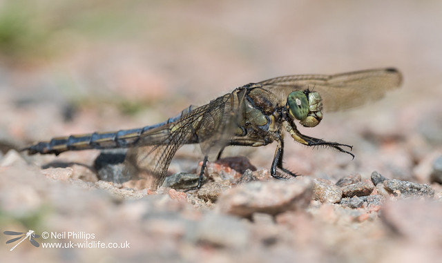 Black tailed skimmer-2