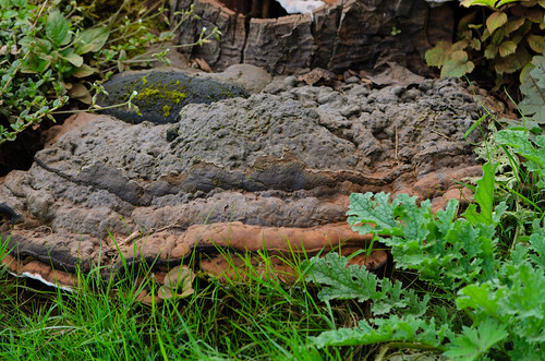 Large horse's hoof fungus, Himley churchyard