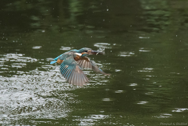 20170826-Kingfisher-DSC_0863