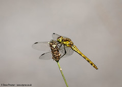 Common Chaser (1)