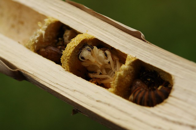 Carpenter Bee nests