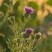 Week 31 - Summertime golden field flower