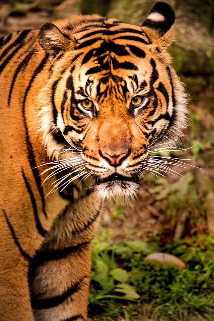 Tiger Portrait 3-0 F LR 8-13-17 J116