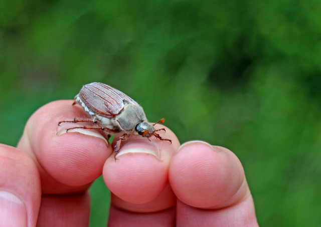 Cock Chafer Beetle