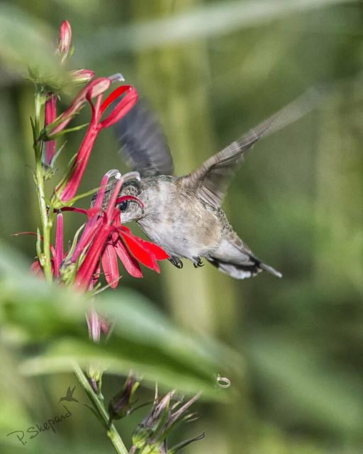 cardinal flower 8-8-17_065