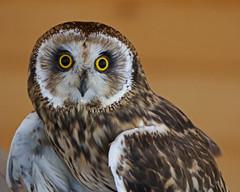 Owl LMP2B