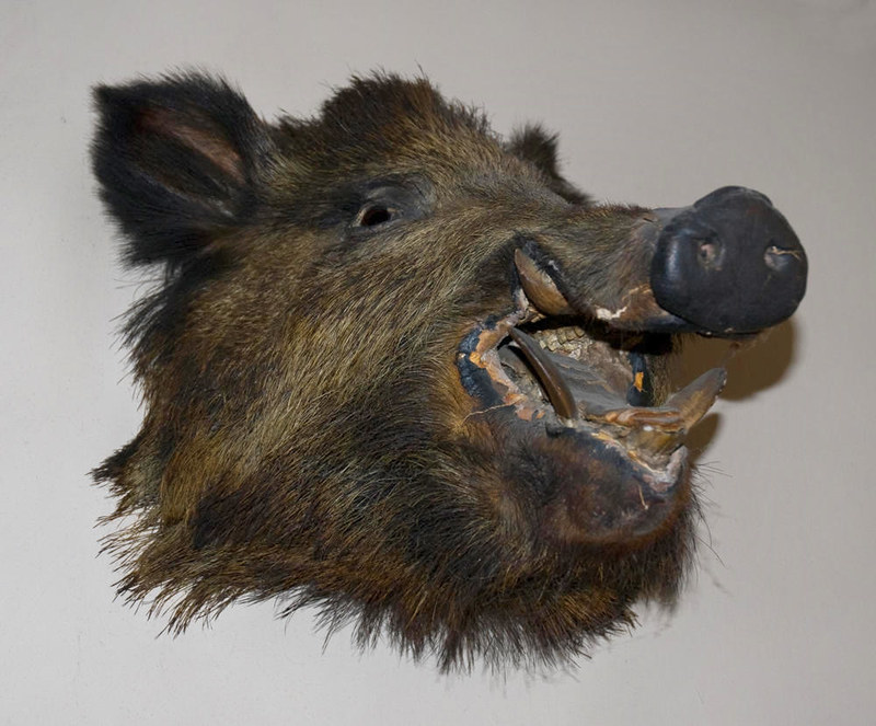 Boar's Head. The Harpur-Crewe family that owned Calke Abbey had a fascination with taxidermy. Credit Thomas Quine