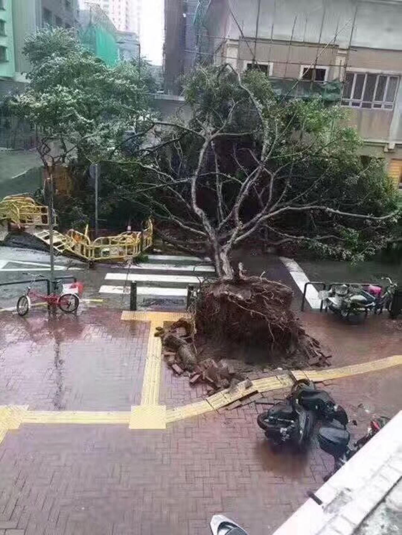 天鴿風球下,澳門出現大亂像。有大樹被強風連根拔起。(澳門讀者提供)