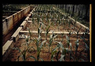 強酸性砂質土壌の改良によって生育良好となったトウモロコシ