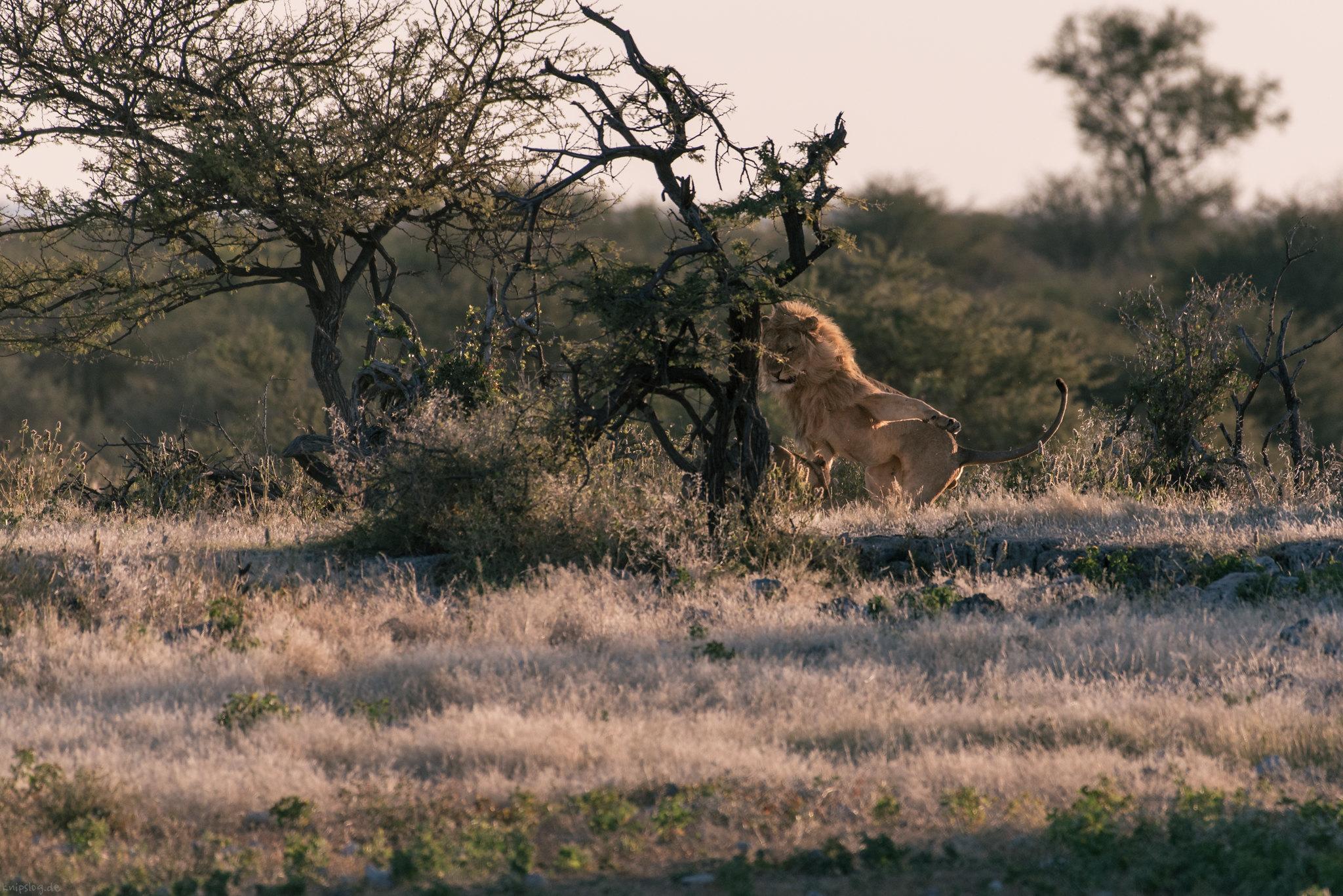 Lovemaking lions