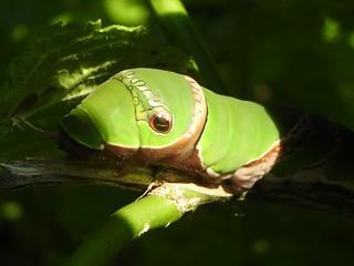 ナガサキアゲハ 幼虫05
