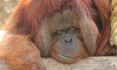 borneo orangutan Kevin Apenheul BB2A9825