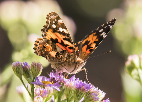 Painted Lady (?) Butterfly