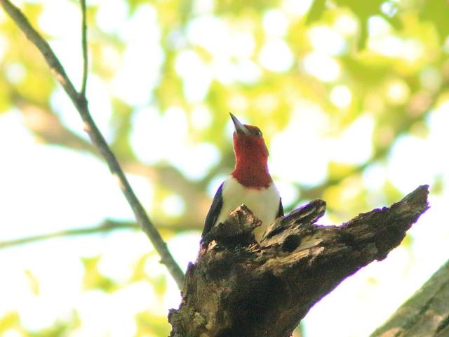 Red-headed Woodpecker 04-20170925