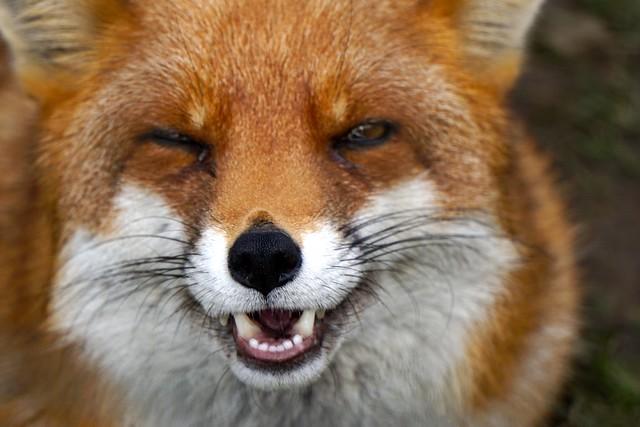 "Red Fox ""Foxy"" - Eshott Animal Park"